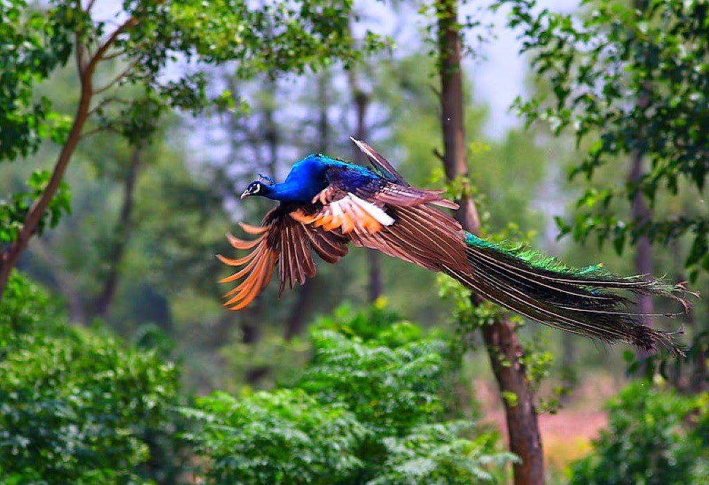 Flying peacock