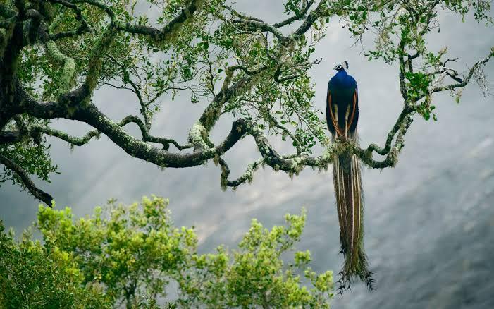 Peacock Habitat