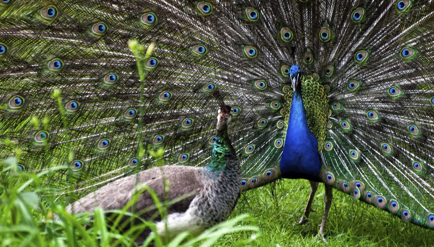 Peacock mating rituals