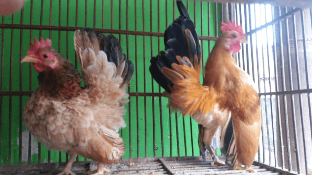 Saat ini tidak hanya di luar negeri di Indonesia pun banyak yang hobi memelihara ayam serama unik ini
