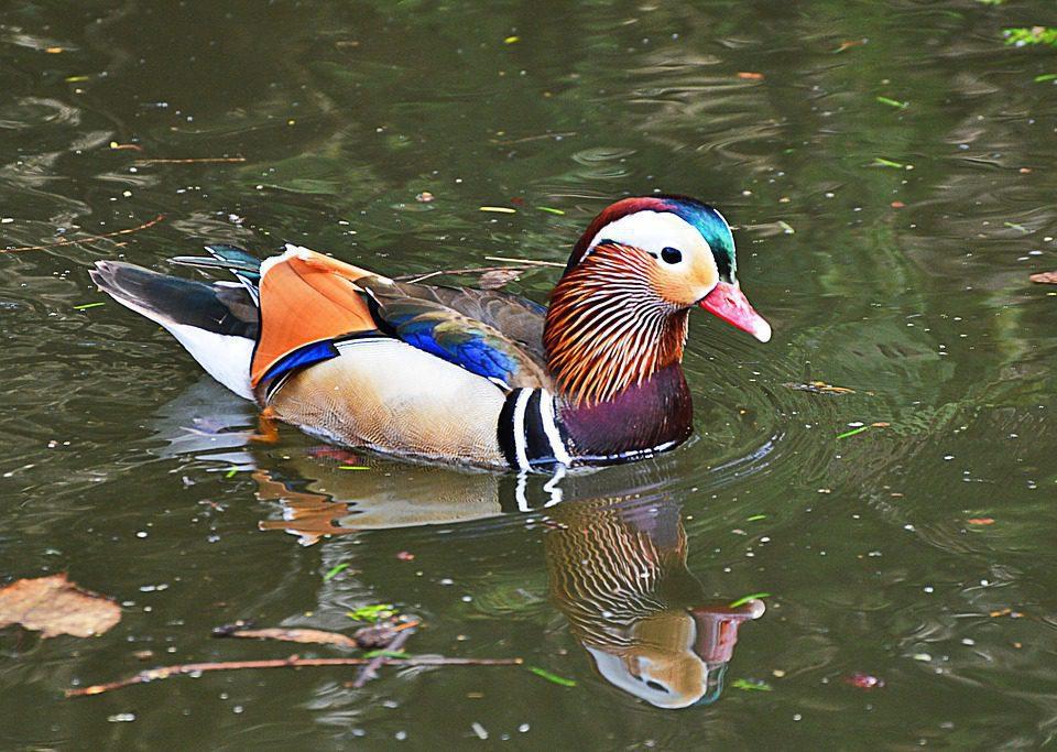 Bebek mandarin sedang berenang di kolam