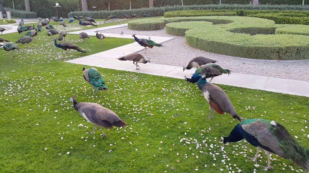 Feeding peacock