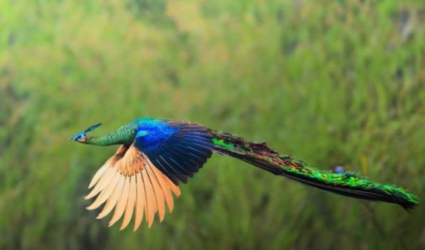 Flying Green Peafowl