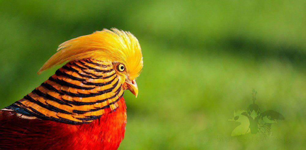 Golden Pheasant sebenarnya bisa terbang namun masih malu-malu. Jika pheasant kaget maka ia akan terbang ke udara dengan suara kepakan yang khas.