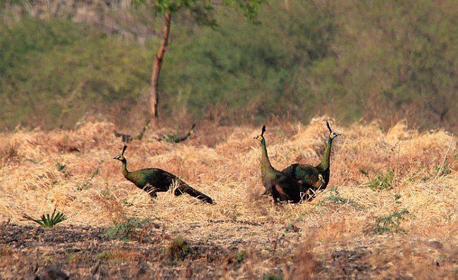 Green Peafowl Habitat