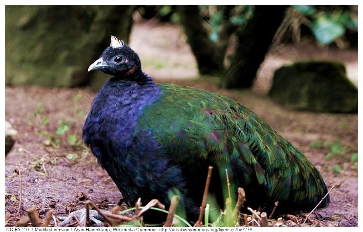 Male congo peafowl