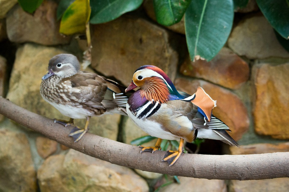 Sepasang bebek mandarin (Jantan memiliki bulu yang mencolok, dan betina dominan coklat hitam)