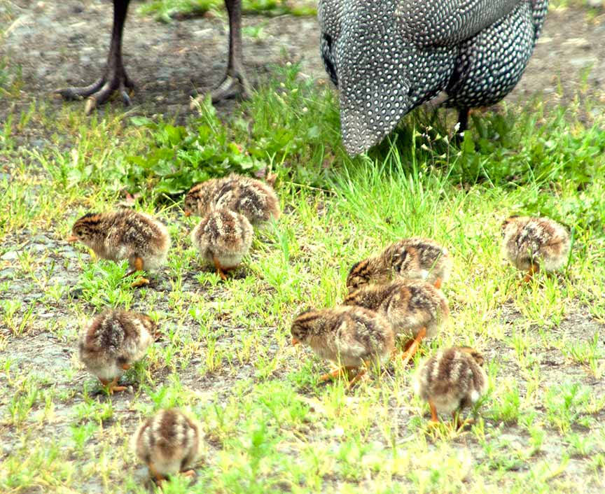 Guinea Fowl Babies