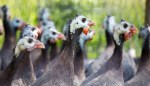 Guinea fowl breeding