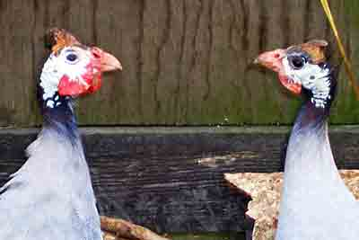 Guinea Fowl farmingfriends.com