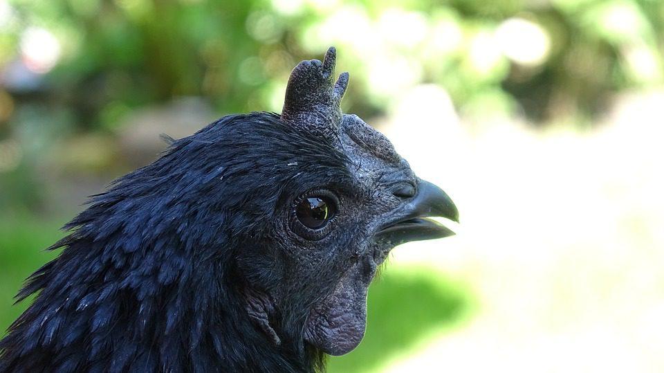 Mitos Ayam Cemani yang terus melegenda
