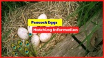 There are 2 ways to incubate a peacock egg, which is naturally and using a incubator.