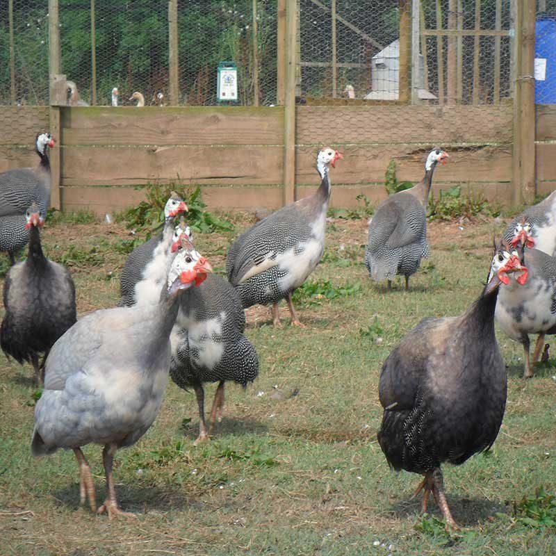 Guinea Fowl Flock Source: poultrydirect.uk
