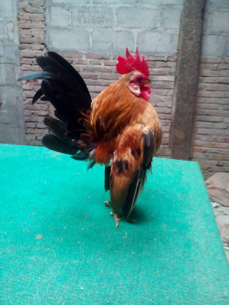 Ayam Serama Kontes Remaja
