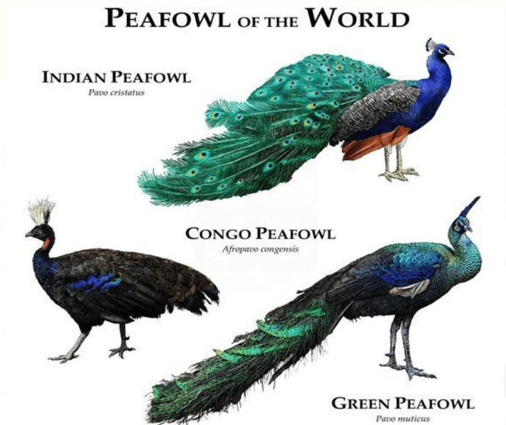Unlike the other two types of peacock, Congo Peafowl has a smaller size and tail is not long. | Peafowl of the world
