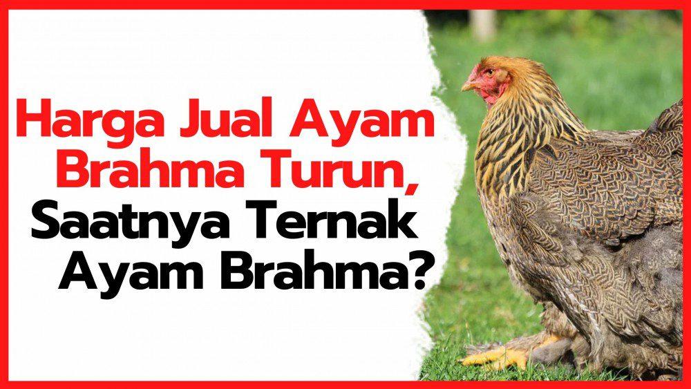 Harga Jual Ayam Brahma Turun, Saatnya Ternak Ayam Brahma?