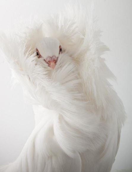 Burung Merpati Jacobin