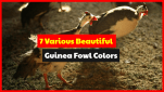 Let's Find 7 Popular of Guinea Fowl Colors Around The World.