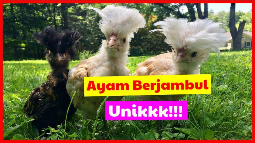 jual ayam poland berjambul