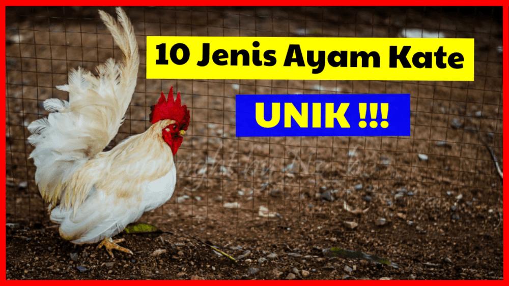 10 Jenis Ayam Kate yang Unik dan Memukau Mata
