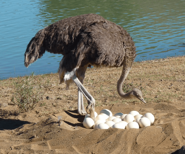 Keunikan dari telur burung unta yaitu memiliki cangkang yang kuat   Telur burung unta