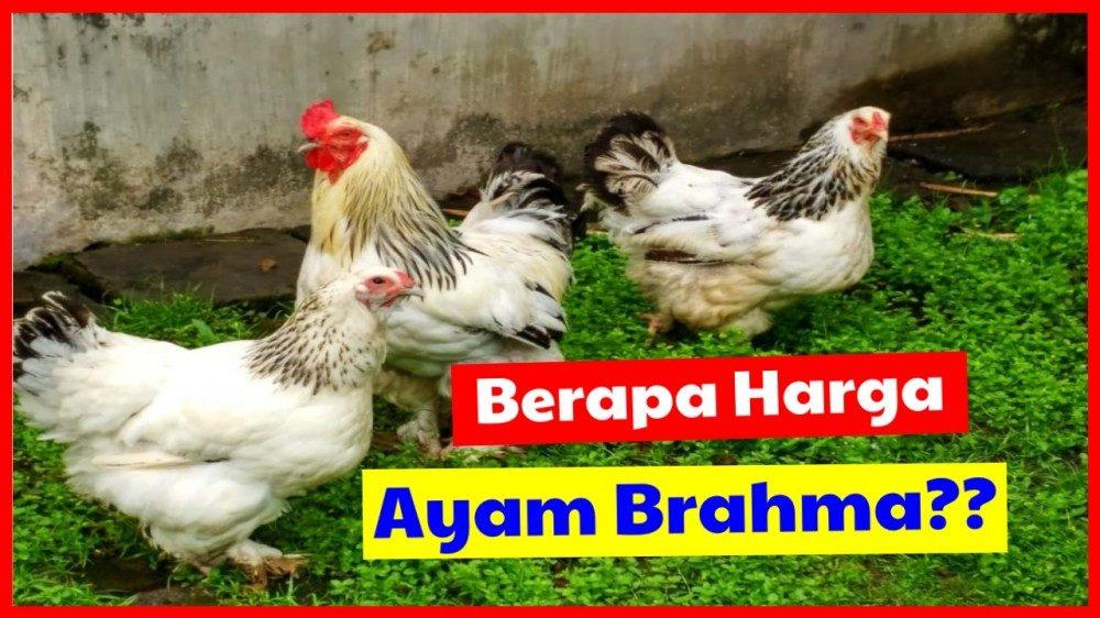cropped Daftar Harga Ayam Brahma harga ayam brahma Jual Ayam Hias HP : 08564 77 23 888 | BERKUALITAS DAN TERPERCAYA harga ayam brahma Daftar Harga Ayam Brahma Terbaru di Tahun 2020