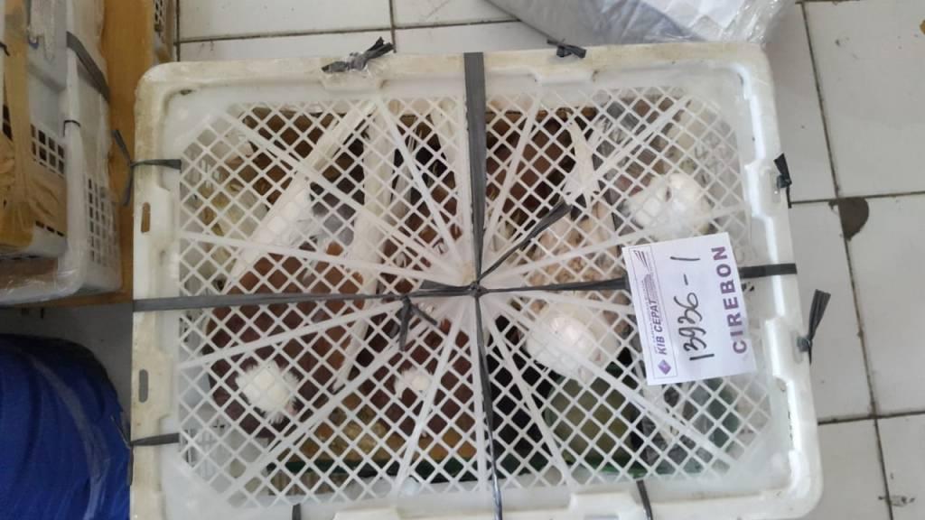Pengiriman burung merpati ke Cirebon menggunakan bok buah