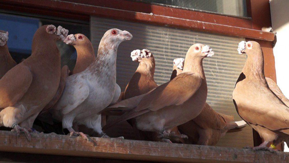 Dragon Pigeon tercatat sebagai nenek moyang merpati pos (racing pigeon)