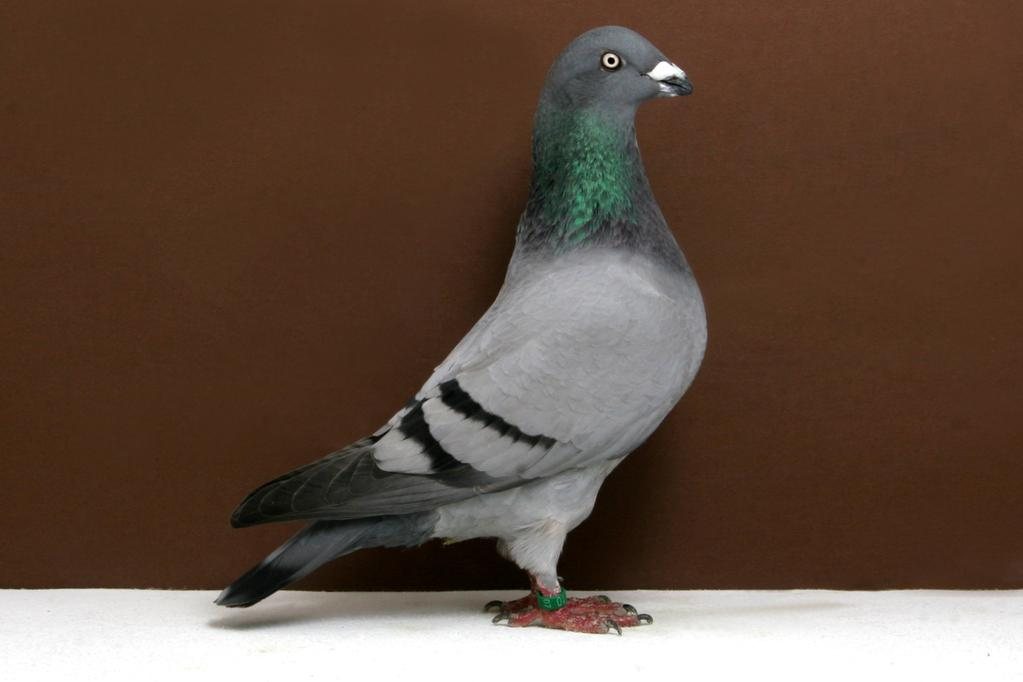Genuine Homer Pigeon termasuk dalam jenis merpati hias. Merpati ini berasal dari Inggris