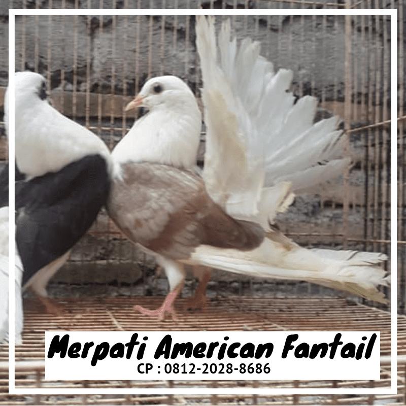 Jual Burung Merpati American Fantail (Kipas) siap kirim ke seluruh wilayah Indonesia