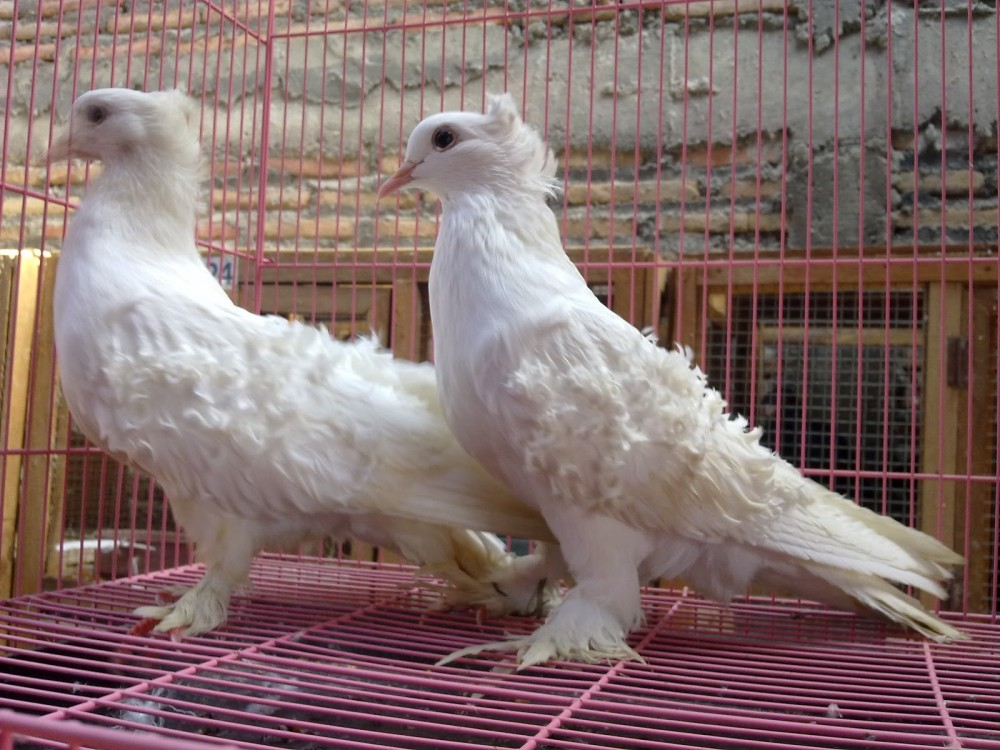 Frillback pigeon memiliki cirikhas bulu ikal yang berbentuk seperti bulatan-bulatan