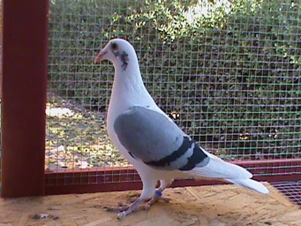 Saddle Homer Pigeon berasal dari Amerika