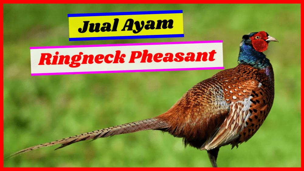 ayam pheasant jual ringneck pheasant Jual Ayam Hias HP : 08564 77 23 888 | BERKUALITAS DAN TERPERCAYA jual ringneck pheasant Jual Ringneck Pheasant dan Berbagai Jenis Ayam Pheasant