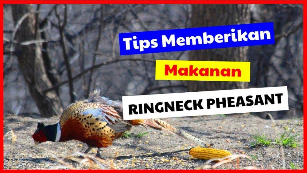 cropped tips memberikan makanan ringneck pheasant makanan ringneck pheasant Jual Ayam Hias HP : 08564 77 23 888 | BERKUALITAS DAN TERPERCAYA makanan ringneck pheasant Tips Memberikan Makanan Ringneck Pheasant Agar Cepat Besar