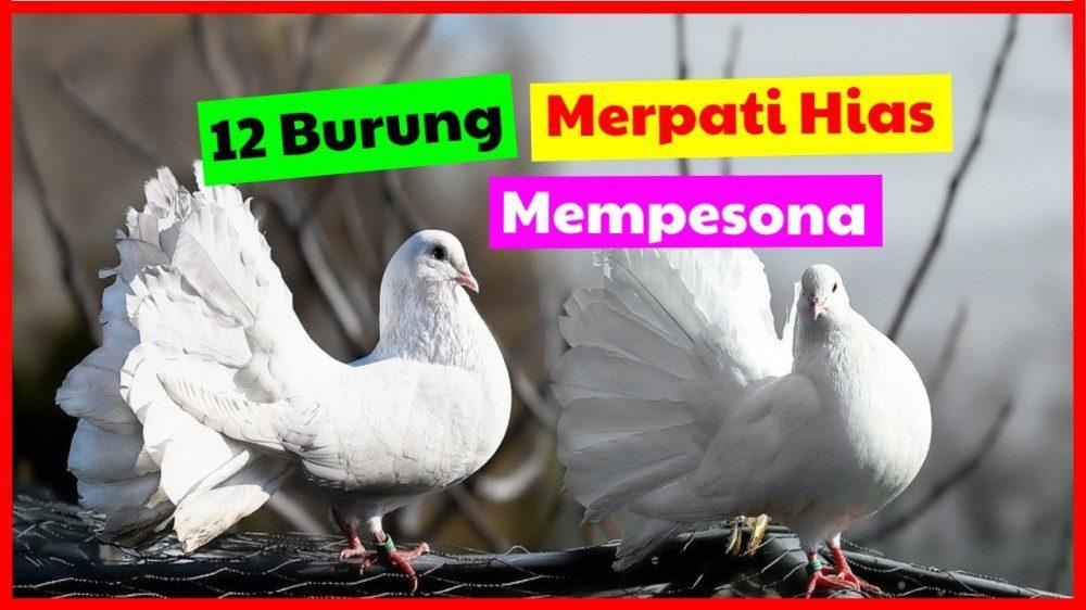 cropped 12 burung merpati hias mempesona burung merpati hias Jual Ayam Hias HP : 08564 77 23 888 | BERKUALITAS DAN TERPERCAYA burung merpati hias 12 Burung Merpati Hias Yang Cocok Anda Pelihara di Rumah