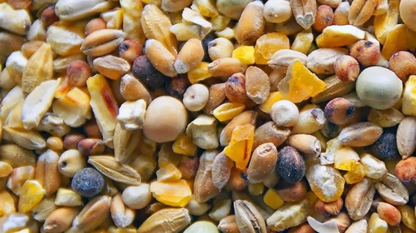 cropped Grains and seeds Pheasant food Jual Ayam Hias HP : 08564 77 23 888 | BERKUALITAS DAN TERPERCAYA Pheasant food Pheasant Food : Knowing What To Feed A Pheasant To Raising A Healthy, Strong, And High Quality Bird