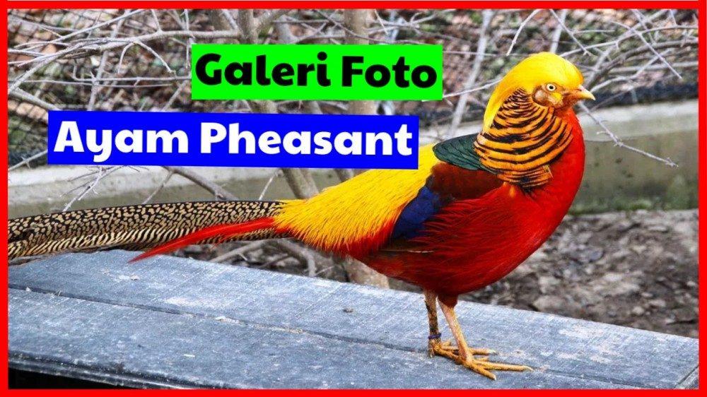 cropped galeri foto ayam pheasant pheasant Jual Ayam Hias HP : 08564 77 23 888 | BERKUALITAS DAN TERPERCAYA pheasant Terbaru Galeri Foto Ayam Pheasant