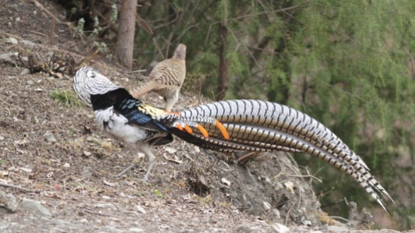 Lady amherst pheasant almost the same as golden pheasant, but lady amherst pheasant has predominantly black, white, and blue feathers. | Pair of Lady Amherst Pheasant