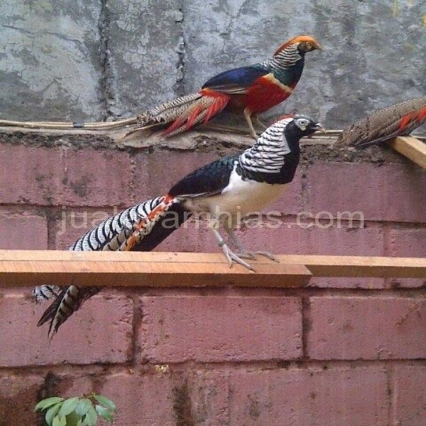 Pheasants are totally a hardy bird that can be a wonderful addition to any aviary. | 2 Pheasants