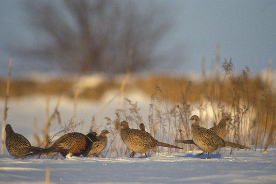 The effect of winter season for pheasant birds Where Do Pheasants Live? Jual Ayam Hias HP : 08564 77 23 888 | BERKUALITAS DAN TERPERCAYA Where Do Pheasants Live? Where Do Pheasants Live? : Know More Information About Pheasant Habitat Preferences