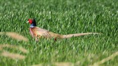 Where Do Pheasants Live Know More Information About Pheasant Habitat Preferences