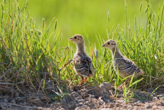 phesant chick Where Do Pheasants Live? Jual Ayam Hias HP : 08564 77 23 888 | BERKUALITAS DAN TERPERCAYA Where Do Pheasants Live? Where Do Pheasants Live? : Know More Information About Pheasant Habitat Preferences