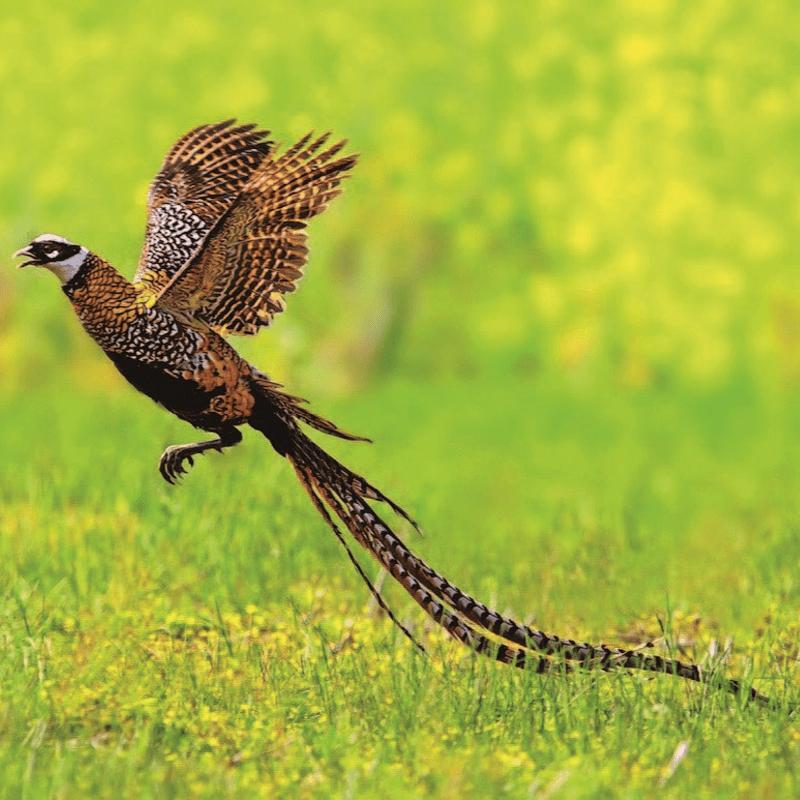 Reevest Pheasant