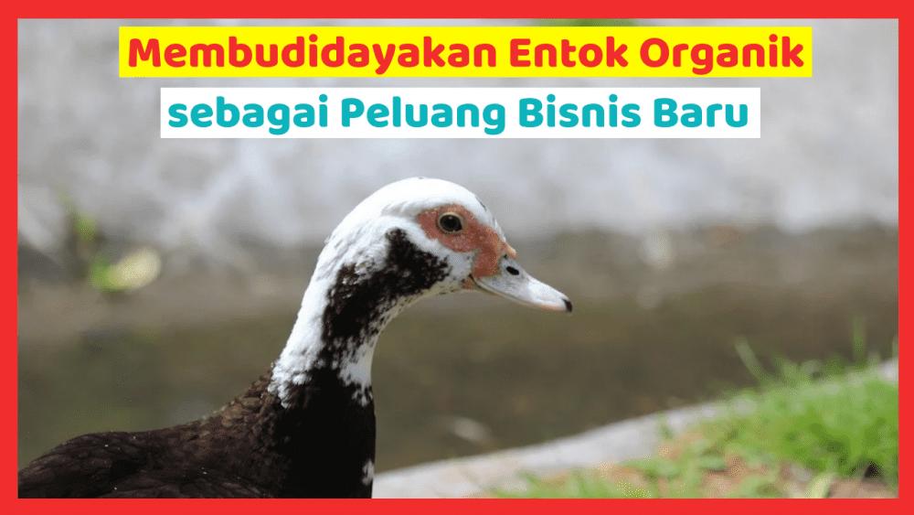 Kandang Ternak JOPER 12 Entok Organik Jual Ayam Hias HP : 08564 77 23 888 | BERKUALITAS DAN TERPERCAYA Entok Organik Membudidayakan Entok Organik sebagai Peluang Bisnis Baru