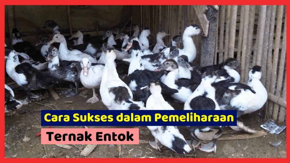 Kandang Ternak JOPER 9 Ternak Entok Jual Ayam Hias HP : 08564 77 23 888 | BERKUALITAS DAN TERPERCAYA Ternak Entok Cara Sukses dalam Pemeliharaan Ternak Entok