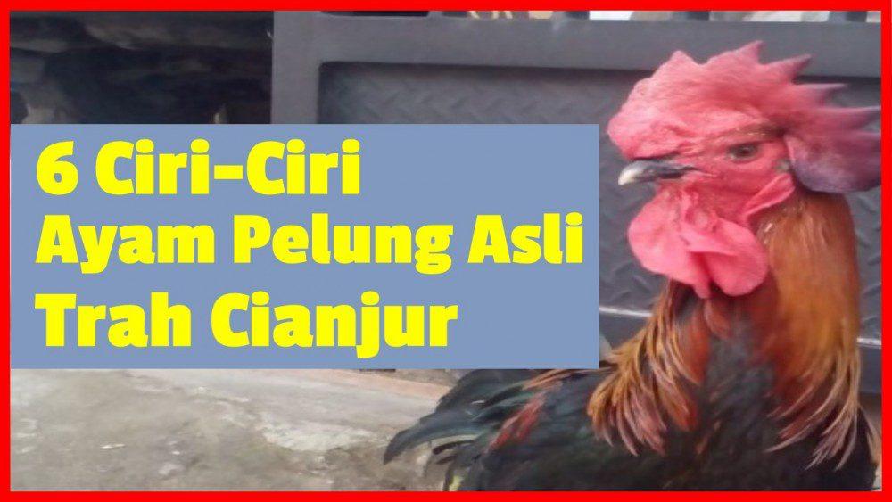6 Ciri-Ciri Ayam Pelung Asli Trah Cianjur yang Berkualitas