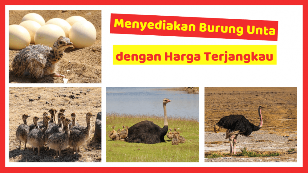 Kandang Ternak JOPER 8  Jual Ayam Hias HP : 08564 77 23 888 | BERKUALITAS DAN TERPERCAYA  Menyediakan Burung Unta dengan Harga Terjangkau