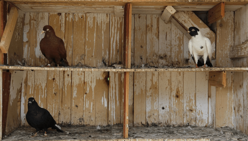 Contoh kandang burung merpati