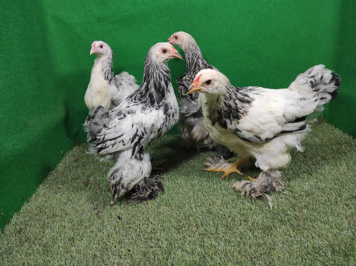 Jika Anda tertarik untuk memelihara Ayam Brahma. Bisa Anda dapatkan bibit dan indukannya ditempat kami | image 3