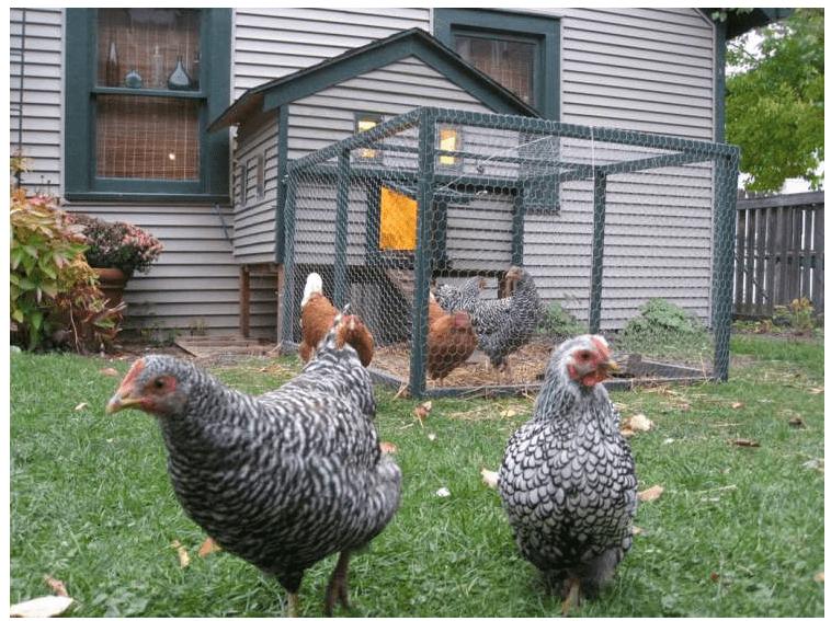 Memelihara ayam dirumah sebagai obat dikala rasa bosan melanda